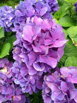 bu紫陽花祭り 001 - コピー (5).JPG